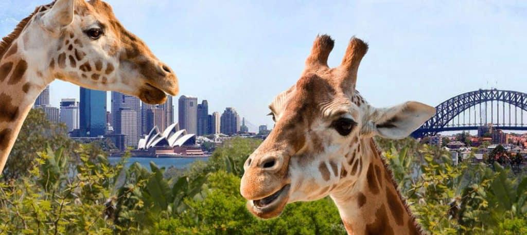 Giraffes at Taronga-Park-Zoo Sydney