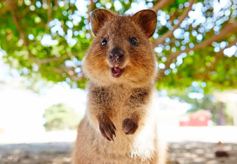Rottnest-island - have fun with a quokka these school holidays